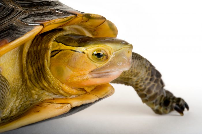 An endangered yellow-margined box turtle (Cistoclemmys flavomarginata).