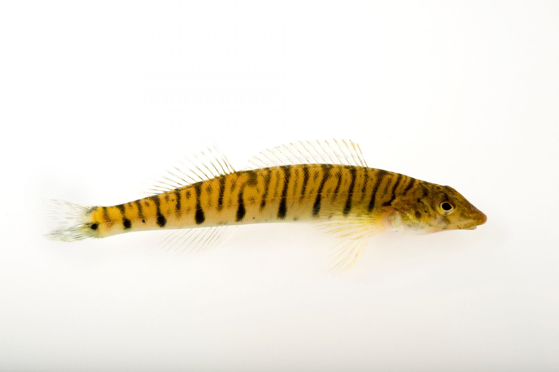 A Conasauga or reticulate logperch (Percina jerkins). This critically endangered (IUCN) and federally endangered fish is facing extinction; an estimated 200-400 remain, and are restricted to a 30-mile stretch of the Conasauga River in Tennessee and Georgia.
