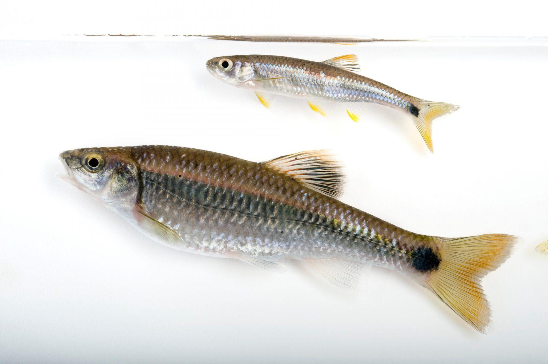 Tricolor shiners (Cyprinella trichroistia) taken from the Conasauga River near Conasauga, Tenessee.