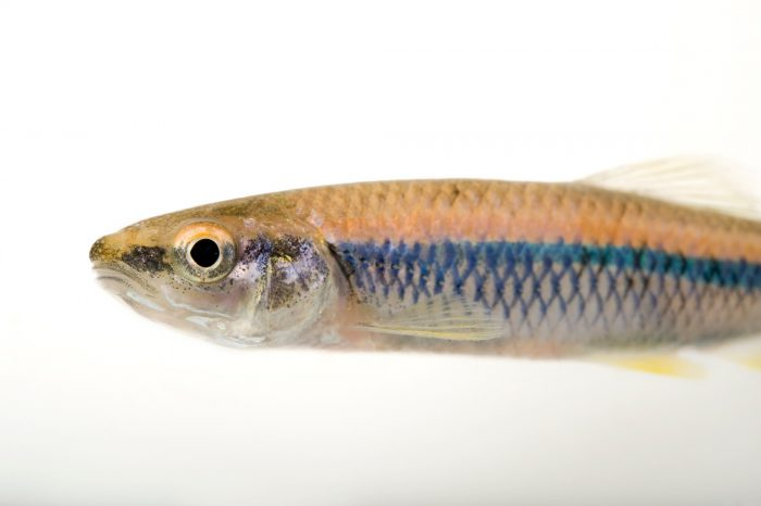 A vulnerable (IUCN) and federally-threatened blue shiner (Cyprinella caerulea) taken from the Conasauga River near Conasauga, Tennessee.