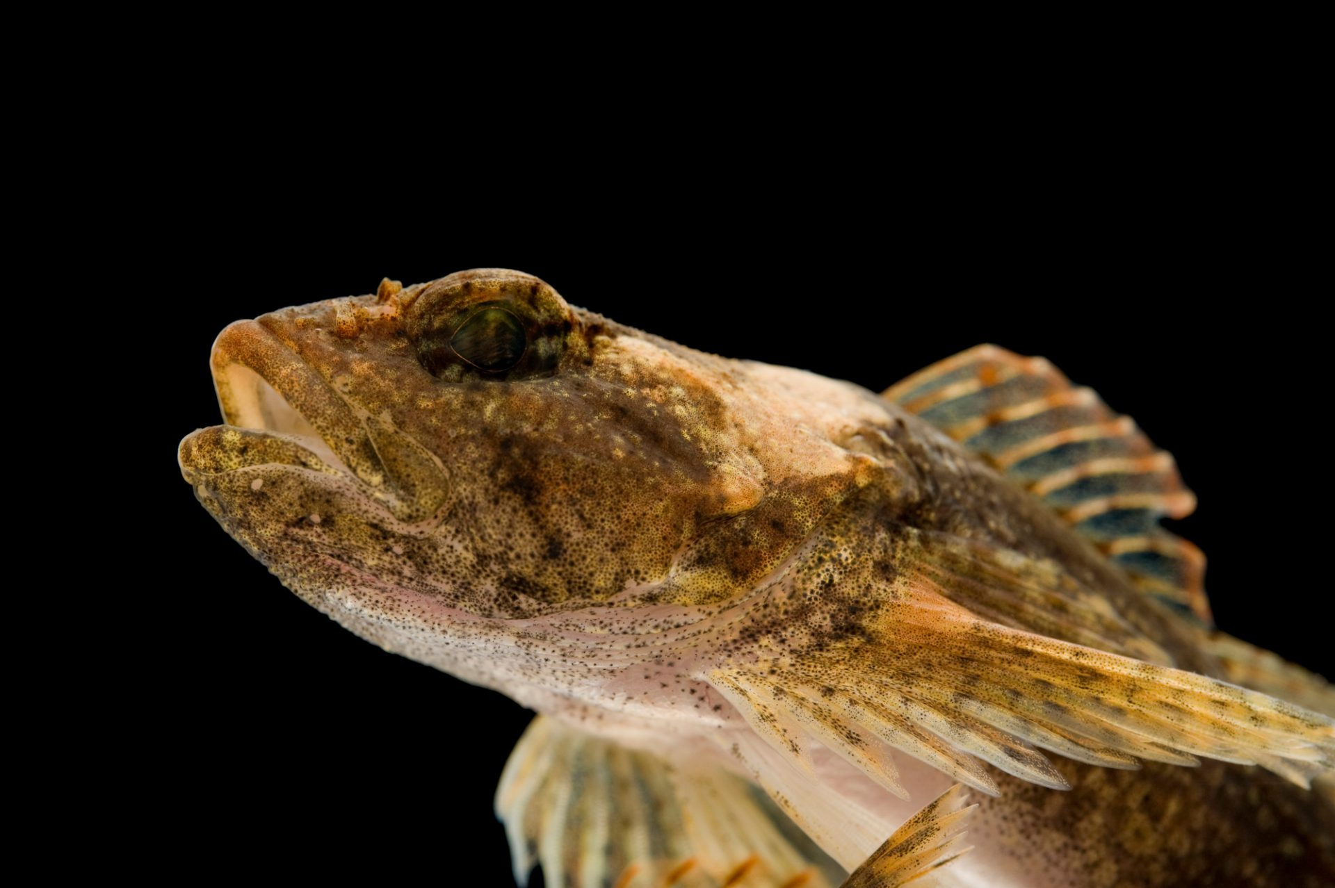 Picture of a banded sculpin (Cottus carolinae) taken from the Conasauga River near Conasauga, Tennessee.