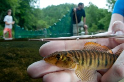 A mobile logperch (Percina kathae) in the Conasauga River, Tennessee.