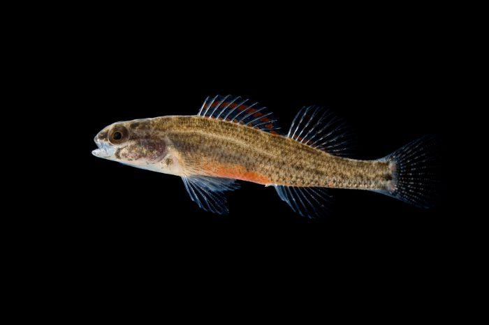 An endangered (IUCN) coldwater darter (Etheostoma ditrema).