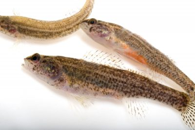 Endangered (IUCN) coldwater darters (Etheostoma ditrema).