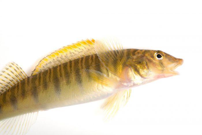 A mobile logperch (Percina kathae) from the Conasauga River.