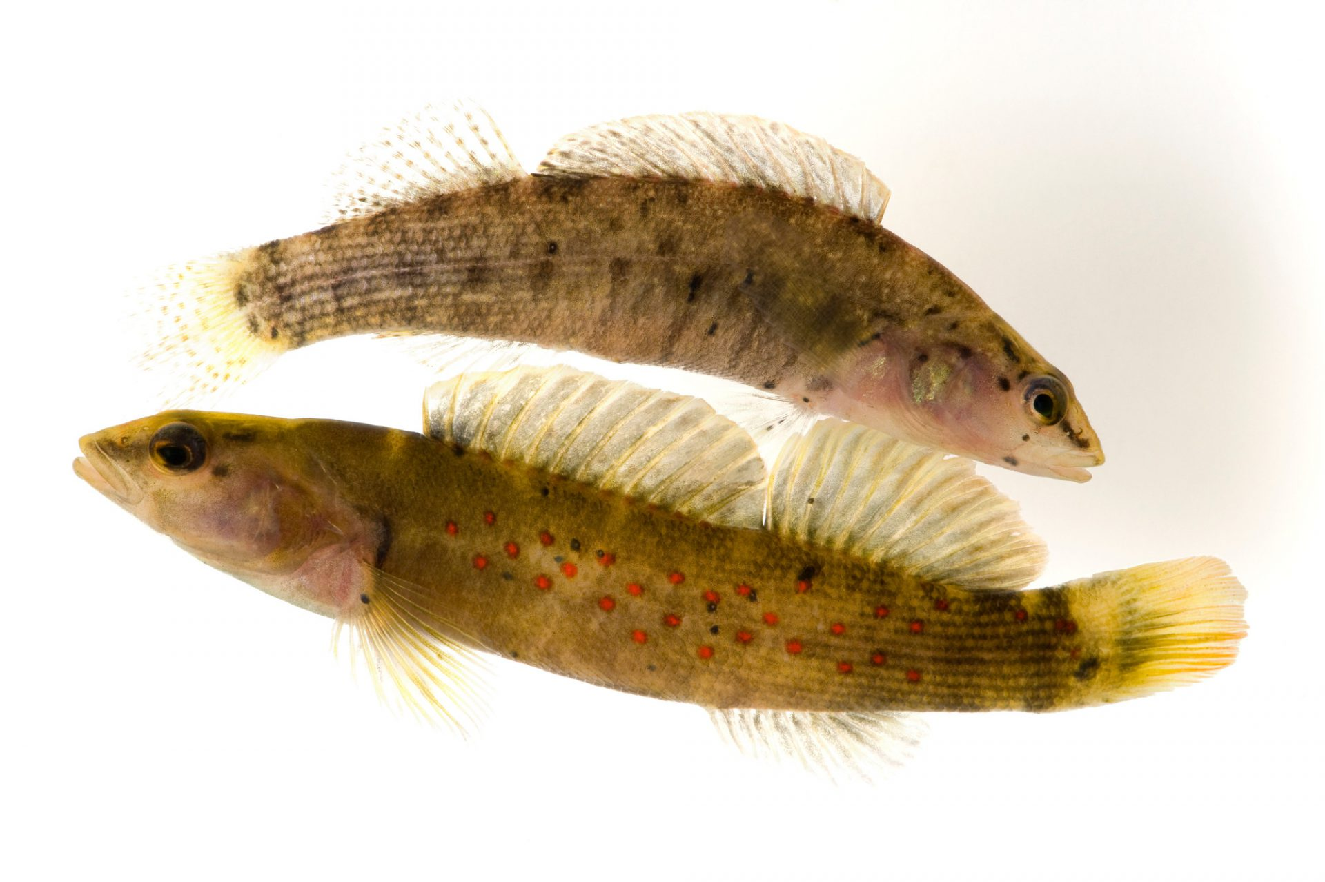 Spotted darter (Etheostoma maculatum) from the Elk River, West Virginia, population. (IUCN: Near Threatened)