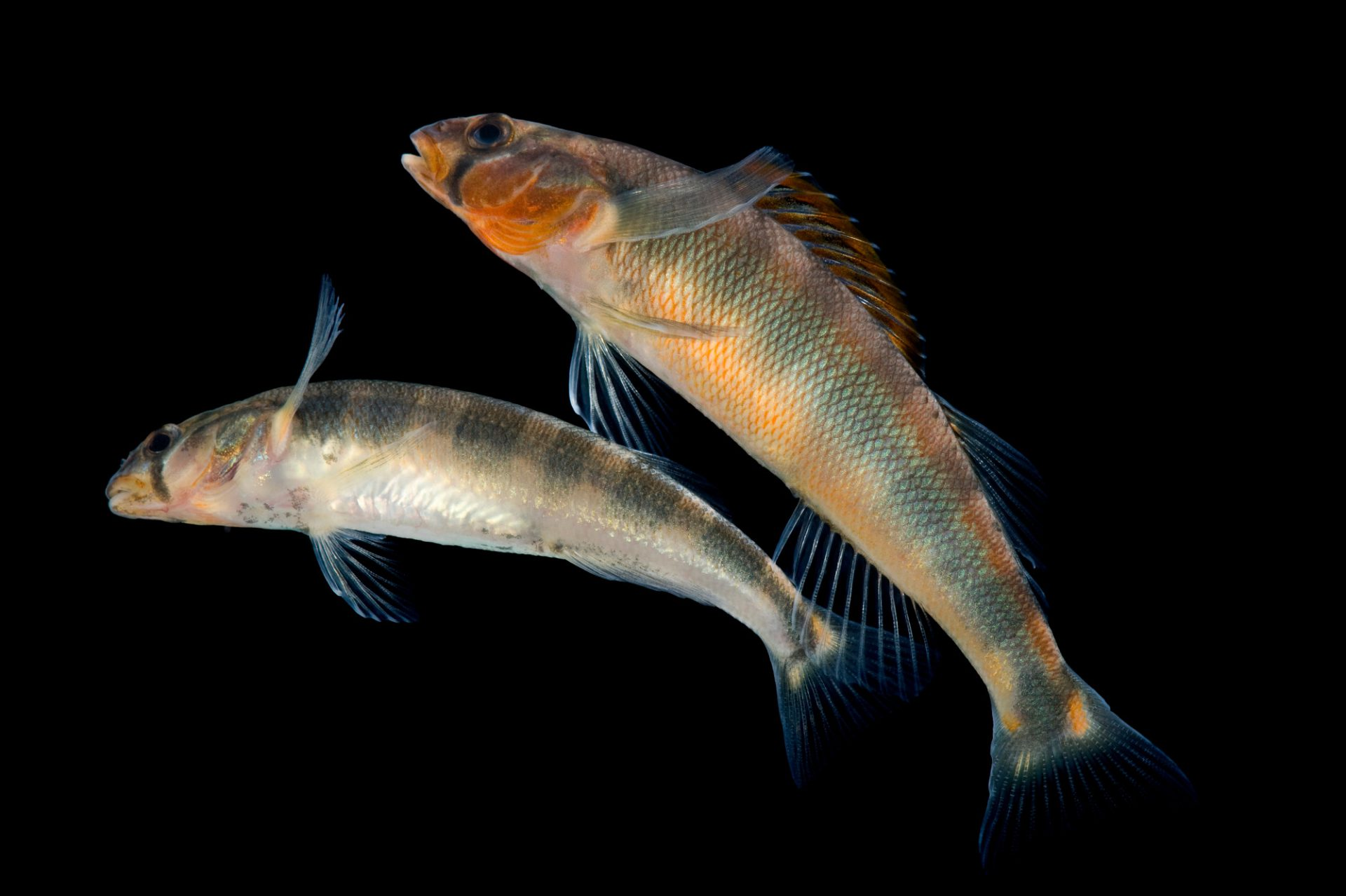 A gilt darter (Percina evides). This species is listed as endangered in New York, from which it has been largely extirpated. It is common in the southeastern U.S.