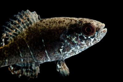 "A critically endangered (IUCN) spring pygmy sunfish (Elassoma alabamae), one of the ""desperate dozen"" imperiled species in the southeast U.S."