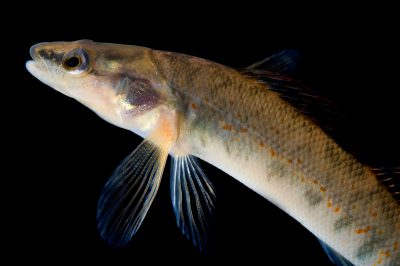 Picture of a Kentucky arrow darter (Etheostoma sagitta spilotum), a species of concern.