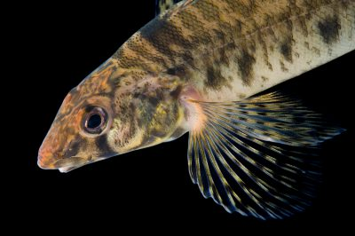 A Roanoke logperch (Percina rex). (US: Endangered; IUCN: Vulnerable)