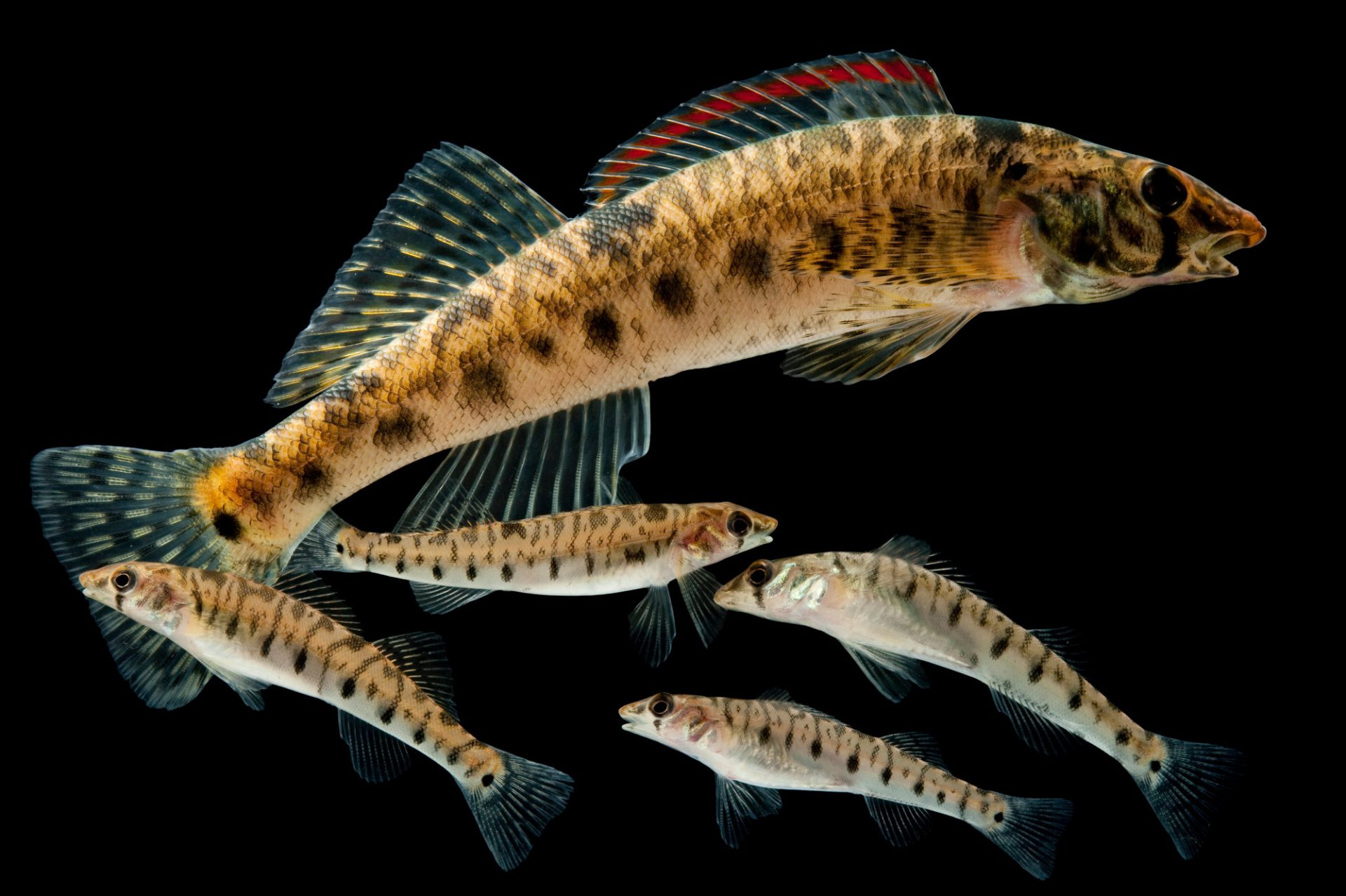 Vulnerable (IUCN) and federally endangered Roanoke logperch (Percina rex). Shown is an adult with juveniles.