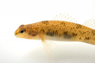 An endangered (IUCN) Cumberland darter (Etheostoma susanae), a candidate for federal listing.