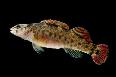 A wounded darter (Etheostoma vulneratum).