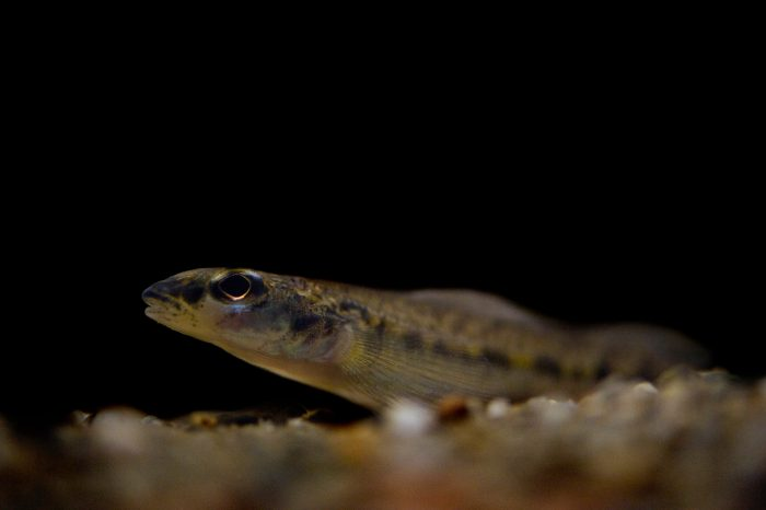 """A critically endangered diamond darter (Crystallaria cincotta), one of the rarest fish in the U.S. and part of """"The Desparate Dozen"""" imperiled fish species."""