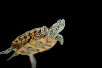 A vulnerable Big Bend slider (Trachemys gaigeae).