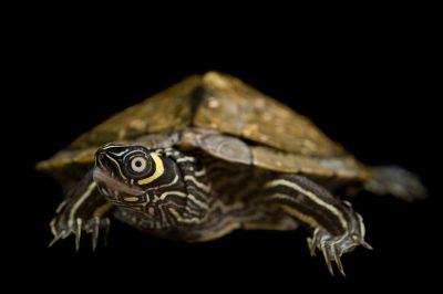A Mississippi map turtle (Graptemys pseudogeographica kohnii).