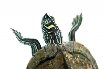A Mississippi map turtle (Graptemys pseudogeographica kohnii).