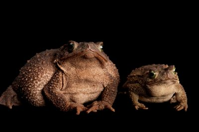 Evergreen toads (Incilius coniferus or Bufo coniferus). The species is widely distributed, and breeds in streams, rivers and shallow pools but is otherwise terrestrial and arboreal.