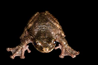 Picture of Rabbs' fringe-limbed tree frog (Ecnomiohyla rabborum), a critically endangered freshwater species from Panama.