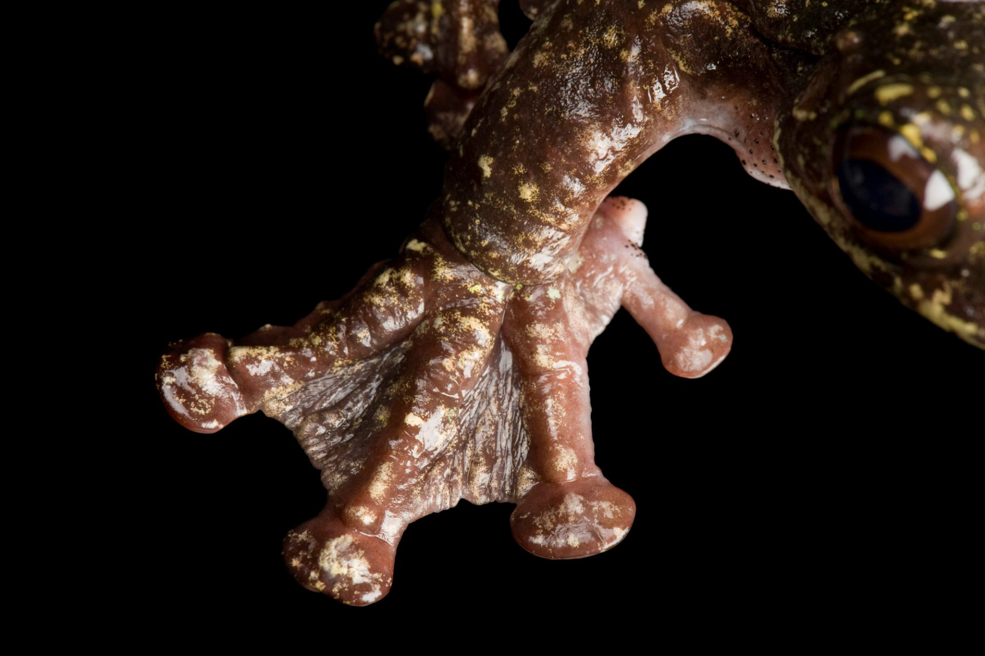 Picture of a Rabbs' fringe-limbed tree frog (Ecnomiohyla rabborum), a critically endangered freshwater species from Panama.