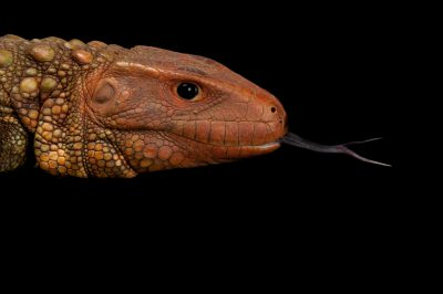 Caiman lizard (Dracaena guianensis). This is a semi-aquatic freshwater species from the Amazon Basin in South America.