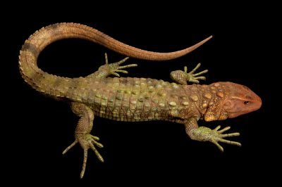 Caiman lizard (Dracaena guianensis). This is a semi-aquatic freshwater species from the Amazon Basin in South America. The long toes are for getting in and out of the muddy banks of the rivers where it lives.