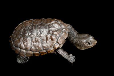 Reimann's snake-necked turtle (Chelodina reimanni). (IUCN: Near Threatened)