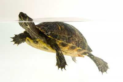 A yellow-bellied slider (Trachemys scripta scripta), a freshwater species from southeastern U.S. (IUCN: Near threatened)