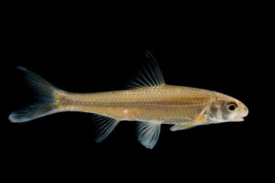 A silver chub (Macrhybopsis storeriana), a species found in the Missouri and Mississippi river systems.