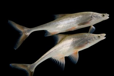 Bonytail, formerly known as the bonytail chub (Gila elegans), a critically endangered (IUCN) and an endangered (US) fish found in the Colorado River.