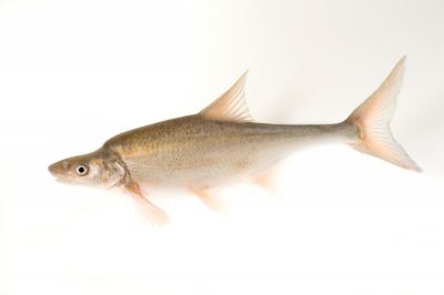 Humpback chub (Gila cypha) an endangered (IUCN) and federally endangered fish from the Colorado River system.