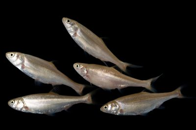 Virgin River chub (Gila robusta seminuda), a federally endangered fish from the Virgin and Colorado River systems.