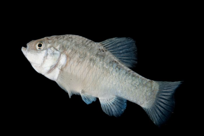 Leon Springs pupfish (Cyprinodon bovinus), a vulnerable (IUCN) and federally endangered fish from west Texas.