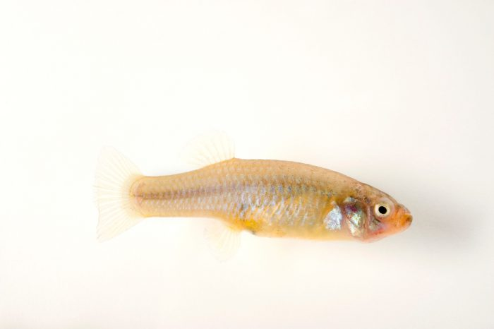 Big Bend gambusia (Gambusia gaigei), an endangered fish from Big Bend National Park in Texas.