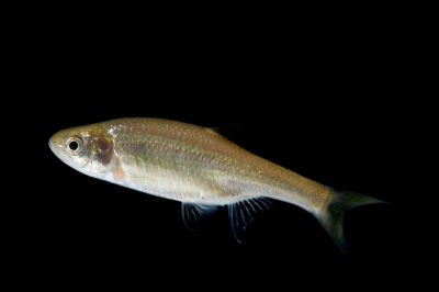 Guzman beautiful shiner (Cyprinella formosa formosa) a vulnerable (IUCN) and federally threatened fish found in the Mimbres River in New Mexico and Lago de Guzman, Chihuahua, Mexico.
