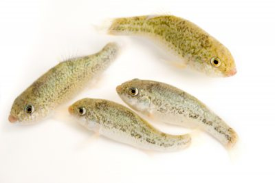 Comanche Springs pupfish (Cyprinodon elegans), an endangered (US and IUCN) fish species from the Pecos River drainage of west Texas.