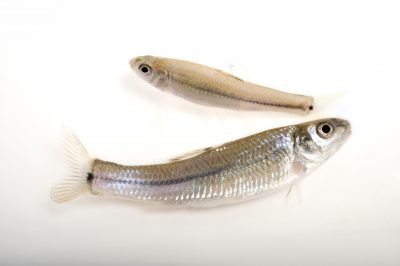 Photo: Bullhead minnows (Pimephalee vigilax), a common species from New Mexico.