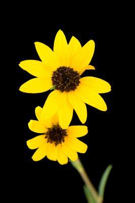 Photo: A Pecos puzzle sunflower (Halianthus paradoxes) at Bitter Lake National Wildlife Refuge.
