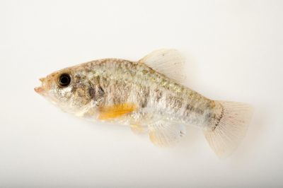 A vulnerable (IUCN) Pecos pupfish (Cyprinodon pecosensis) at Bitter Lake National Wildlife Refuge.