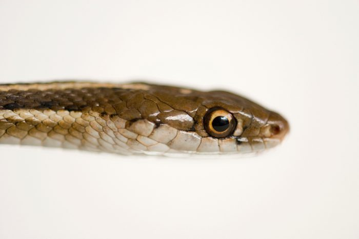 An arid land ribbon snake (Thamnophis proximus diabolicus) at Bitter Lake National Wildlife Refuge. This species is listed as endangered by the state of New Mexico.