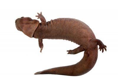 A vulnerable stout salamander (Pachyhynobius shangchengensis).