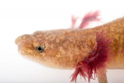 A vulnerable (IUCN) and federally endangered Barton Springs salamander (Eurycea sosorum).