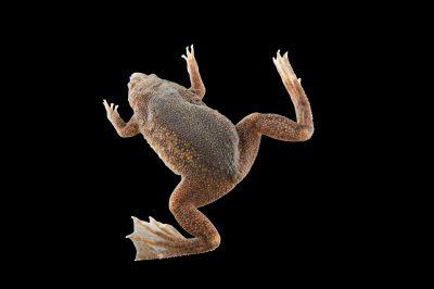 A Sabana Surinam toad (Pipa parva).