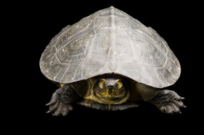 Picture of an endangered yellow-headed temple turtle (Hieremys annandalii).