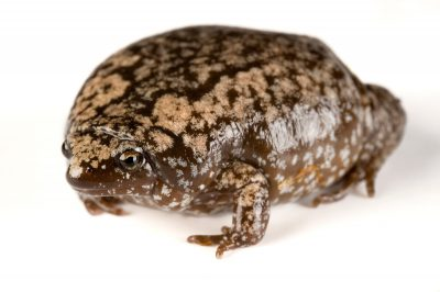 An eastern narrow-mouthed toad (Gastrophryne carolinensis).