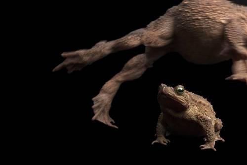 Evergreen toads (Incilius coniferus or Bufo coniferus) at Zoo Atlanta.