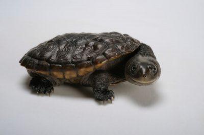Reimann's snake-necked turtle, Chelodina reimanni.