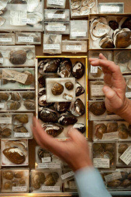 Photo: Hands frame specimens of freshwater mussels belonging to the genus Epioblasma.