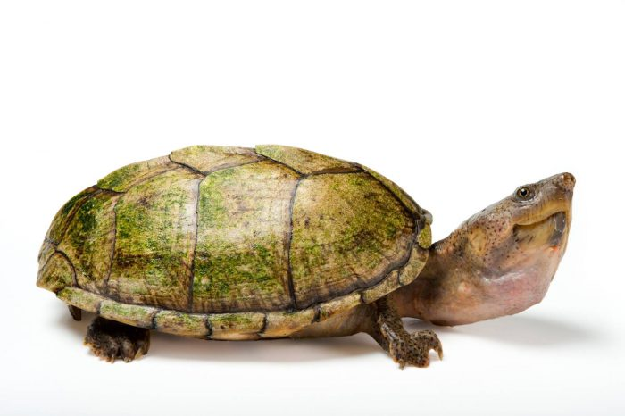 The razor-back musk turtle (Sternotherus carinatus) releases a foul-smelling secretion when threatened. This species is listed as least concern on the IUCN red list. From the Tennessee Aquarium.