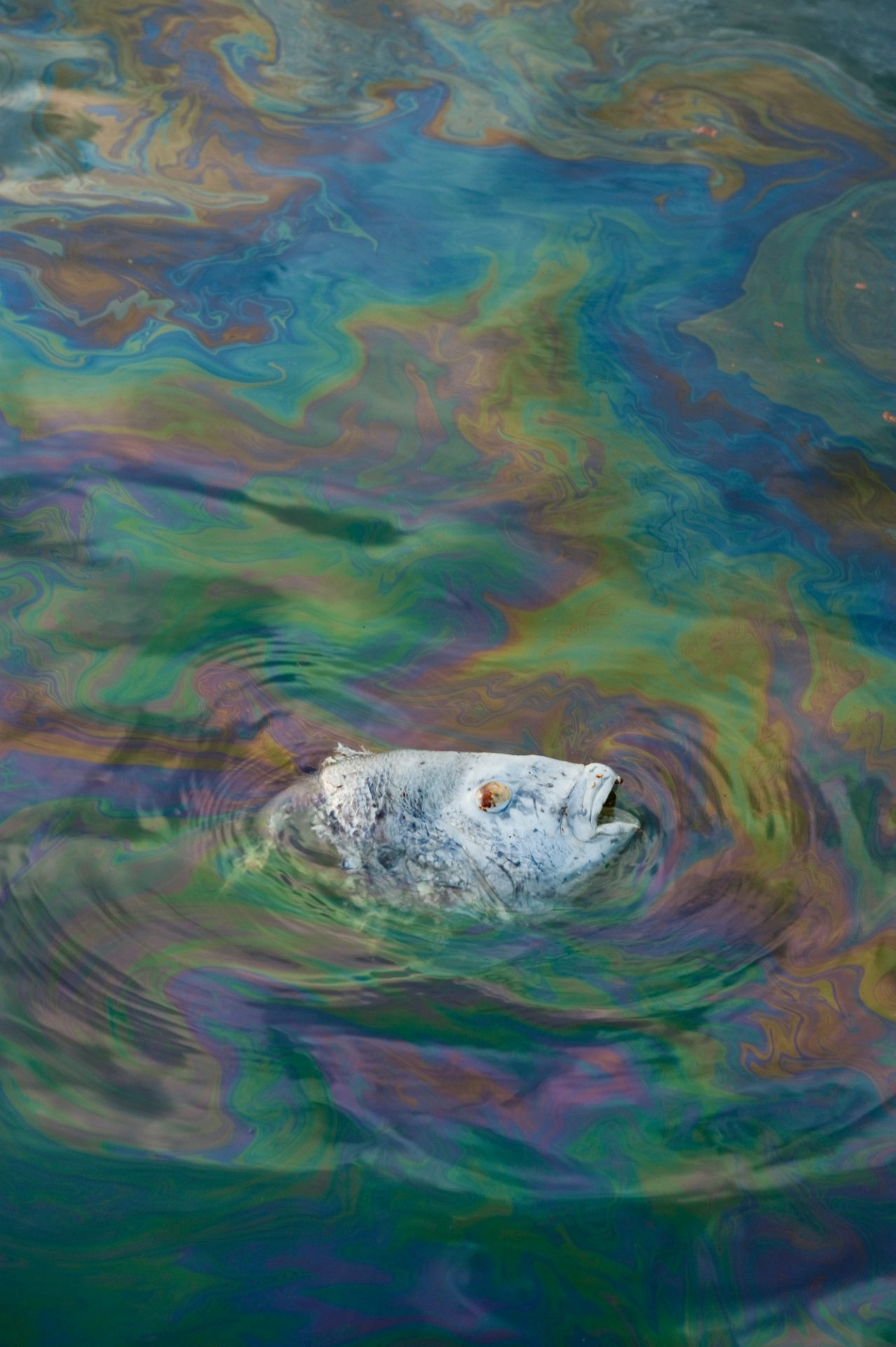 Photo: A dead black drum (Pogonias cromis) as it floats through oil from the Deepwater Horizon spill, near Grand Isle, Louisiana.